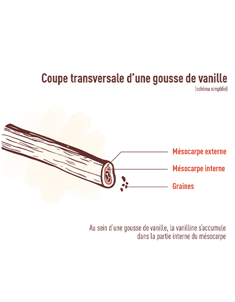 coupe transversale gousse de vanille Norohy