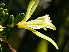 etape transformation vanille tahiti floraison
