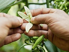 etape transformation vanille pollinisation
