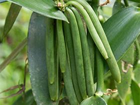 variete vanilla planifolia